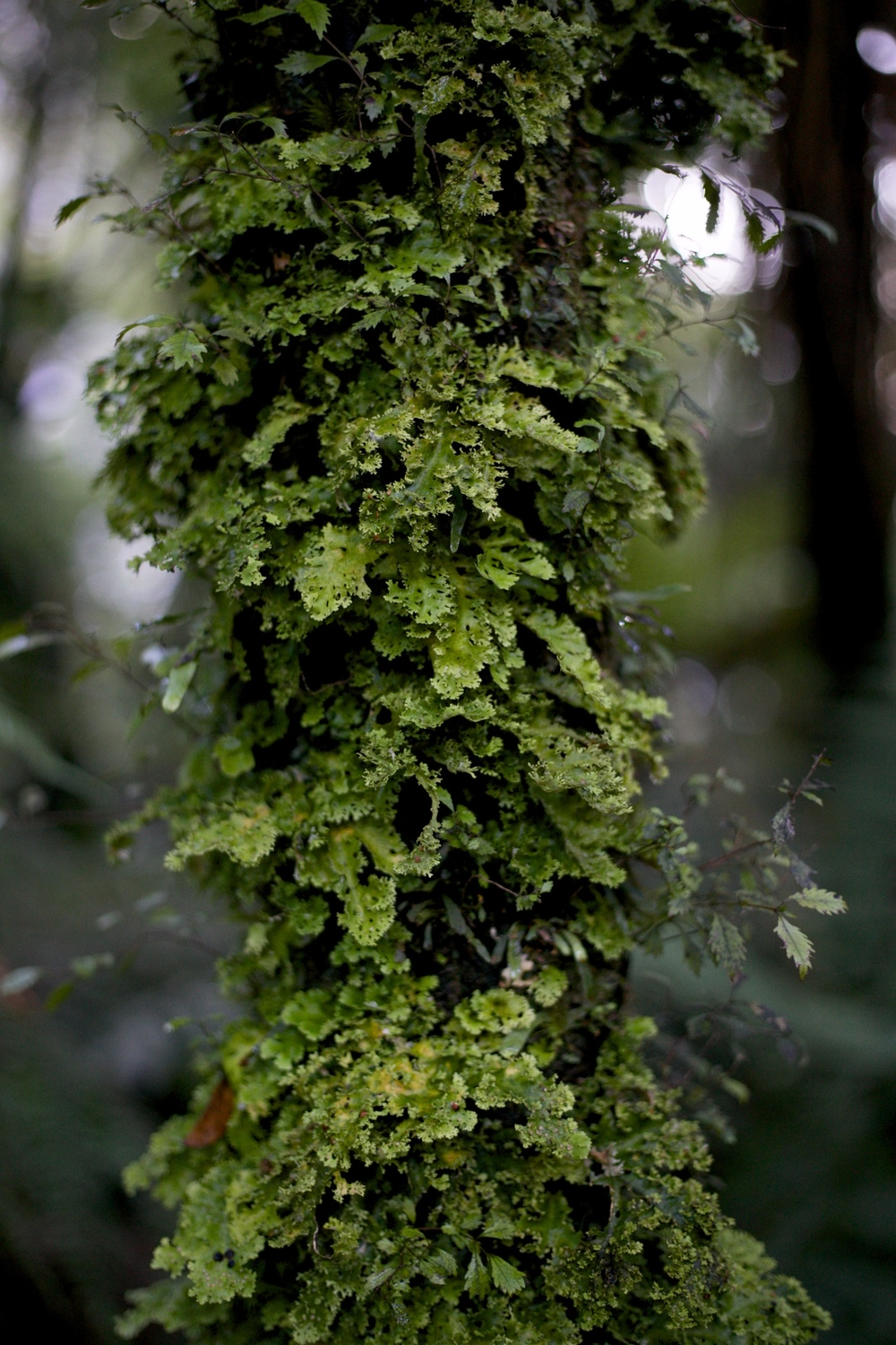 Moss growing on a tree in the native bush, NZ.