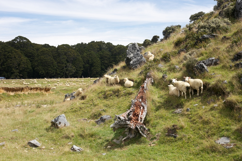 Sheep on a hillside in New Zealand. Canaan Downs Scenic Reserve