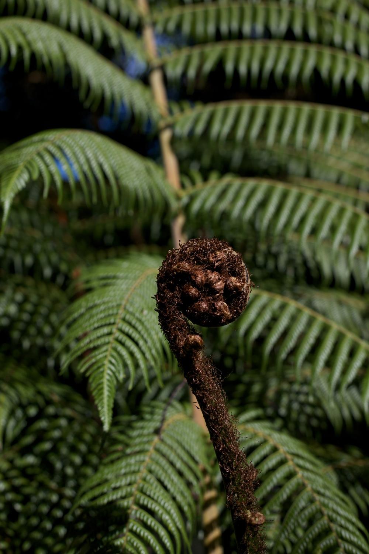 An unfurling fern frond - like a koru.