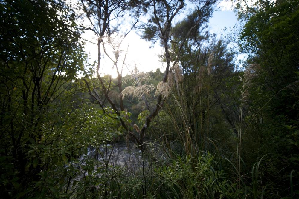 New Zealand toi toi bushes