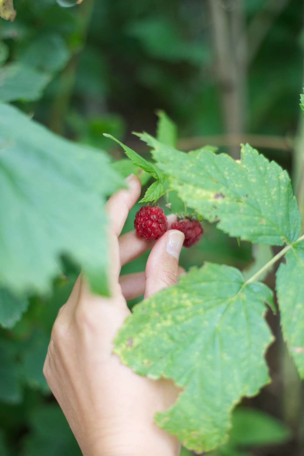 Picking the raspberries when they are ripe.