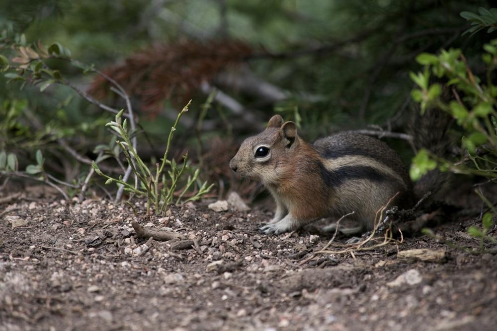 Chipmunk in the underbrush.
