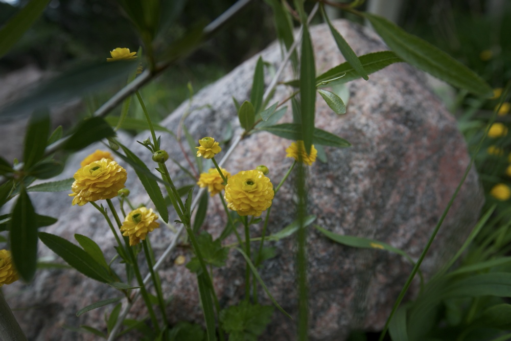 Ranunculus Ficaria - a bright yellow many petaled alpine buttercup.