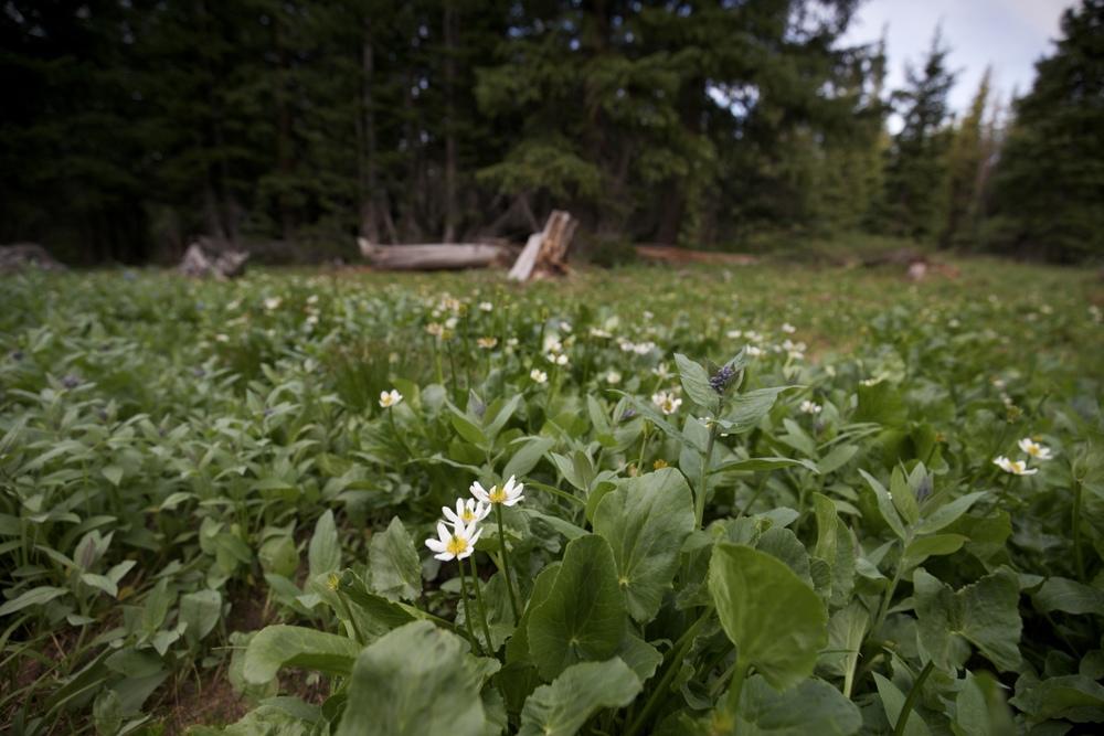 Marsh Marigold - alpine flowers