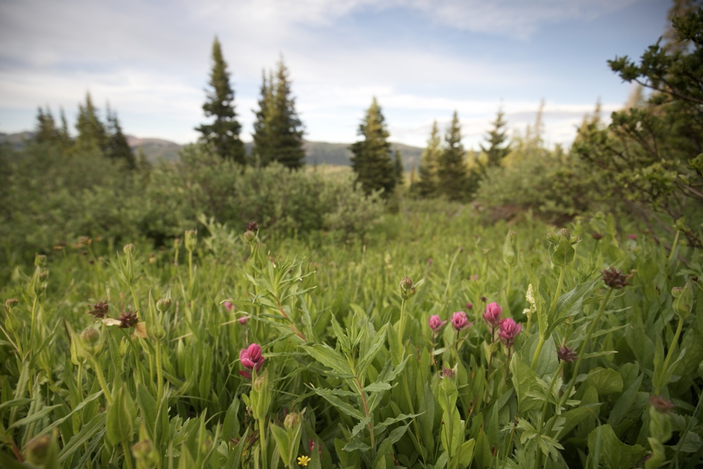 Subalpine paintbrush - purple alpine flowers.