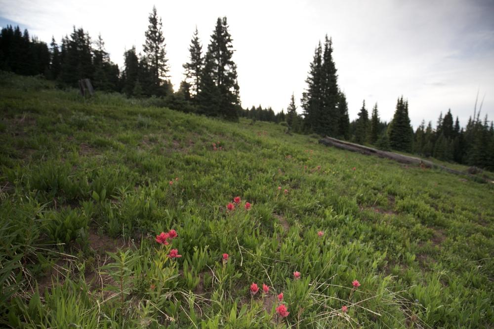 Desert paintbrush flowers in a field of Shrine Pass.