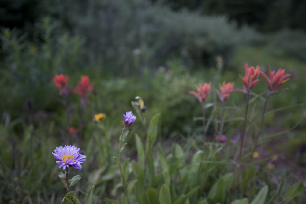 Alpine Aster purple daisies and red Desert Paintbrush flowers.