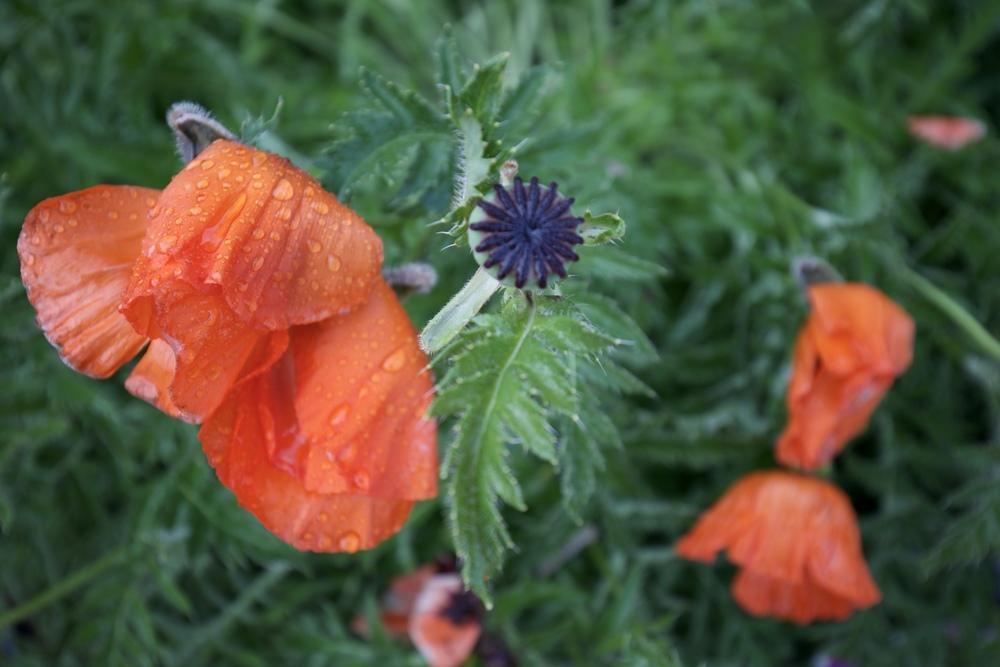 Rain drops on orange poppies.