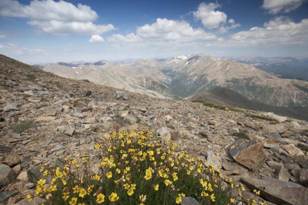 Alpine buttercups on Mount Elbert in Spring.