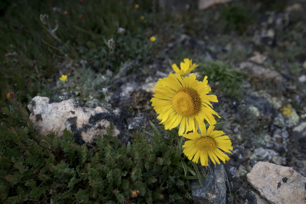 Alpine sunflowers on Mount Elbert.