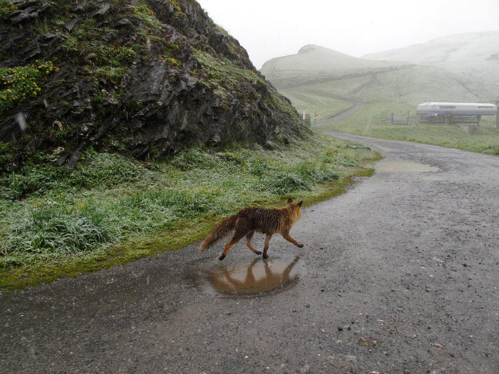 WILD FOX MEDICINE