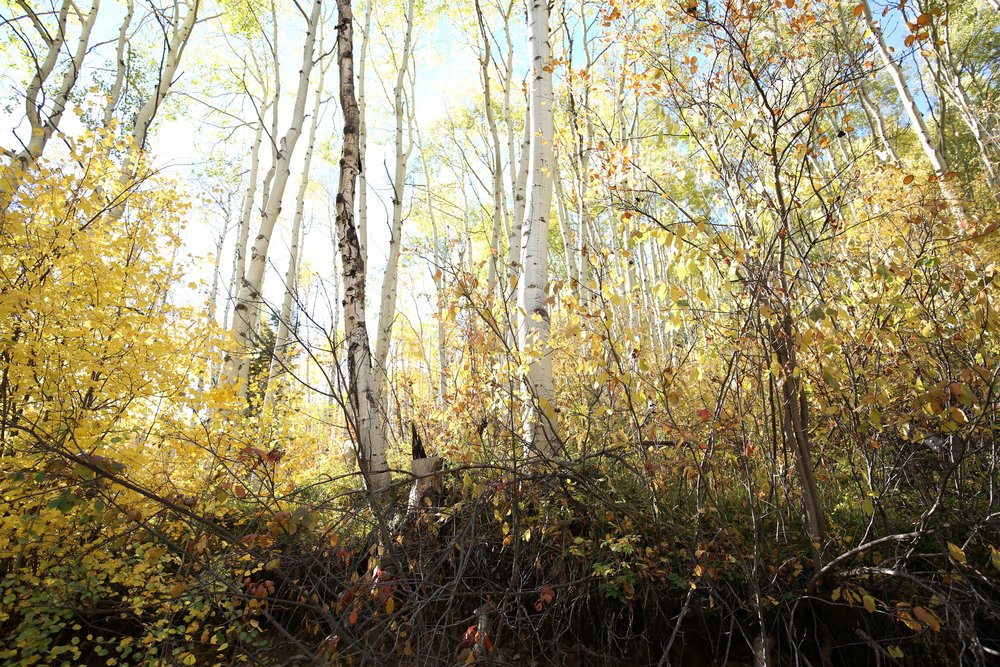 Fall leaves in Colorado aspen forest.