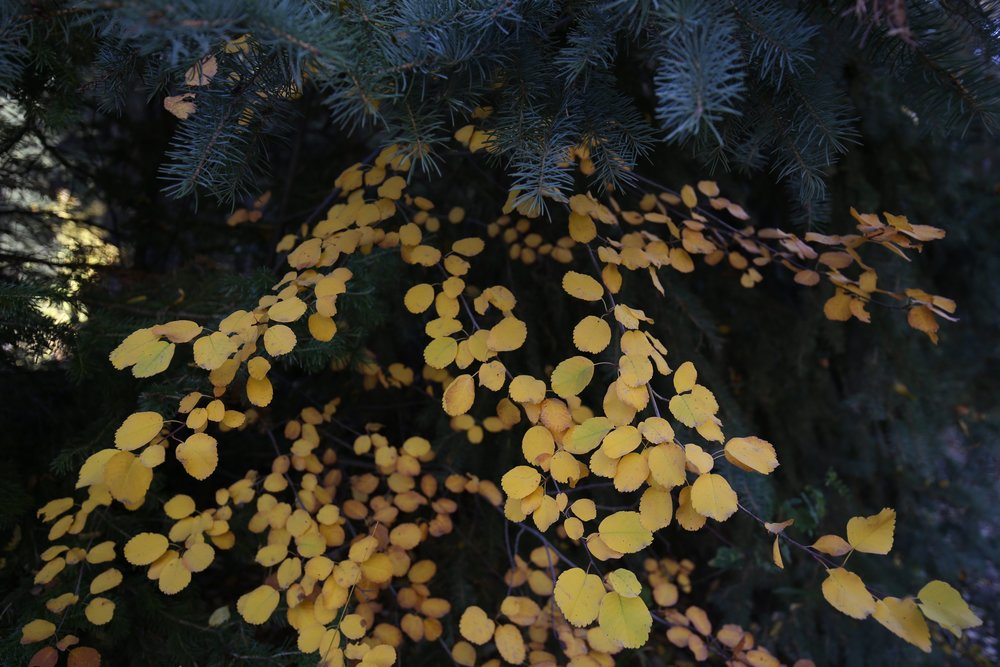 Aspen leaves and pine needles.