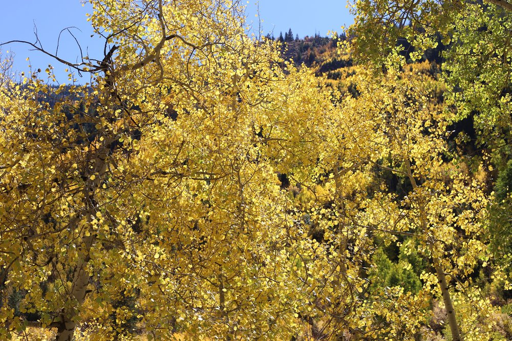 Yellow leaves on aspen trees.