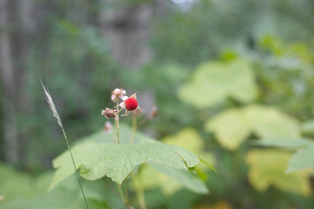 Foraging for thimbleberries in Colorado.