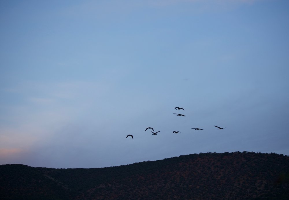 Geese flying south for the winter.