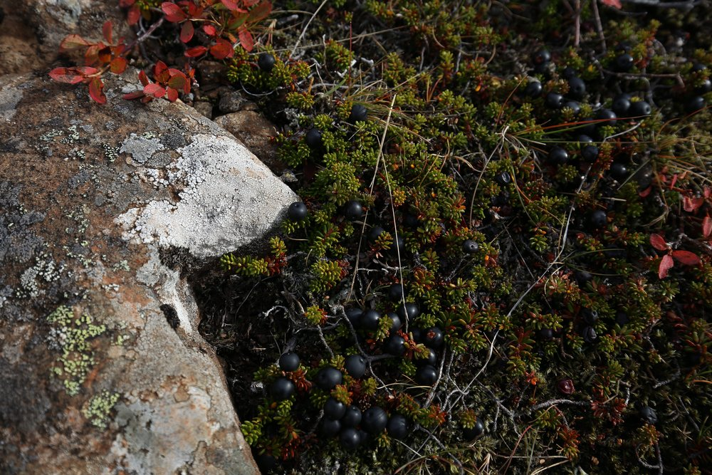 bilberries