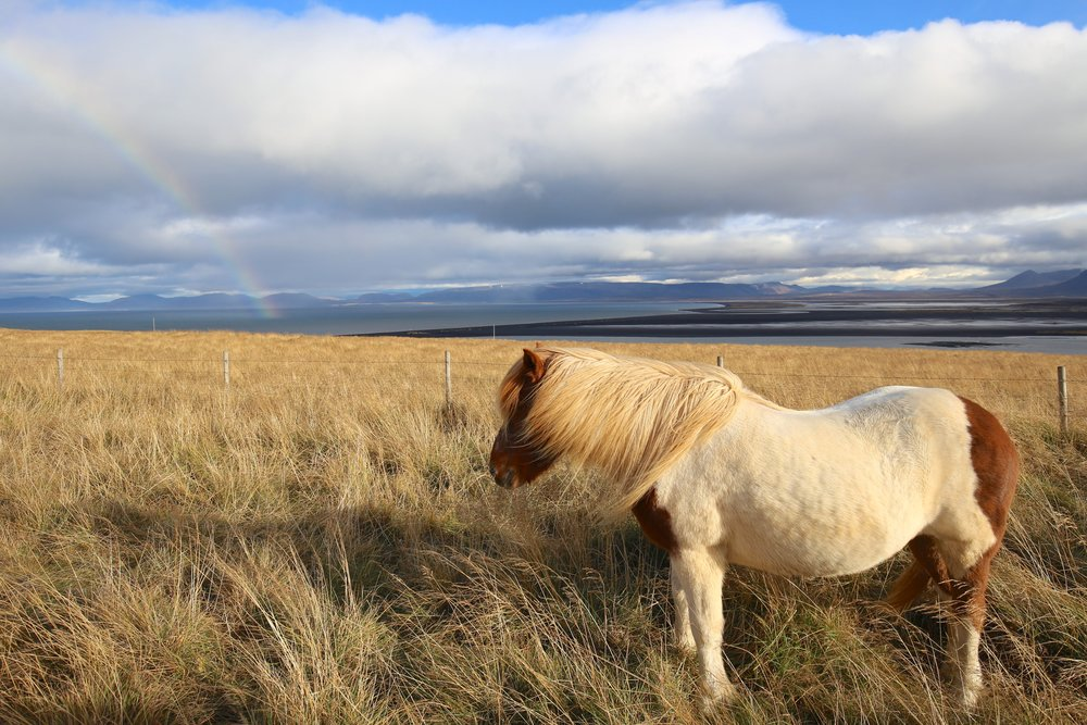 icelandic horse and rainbow