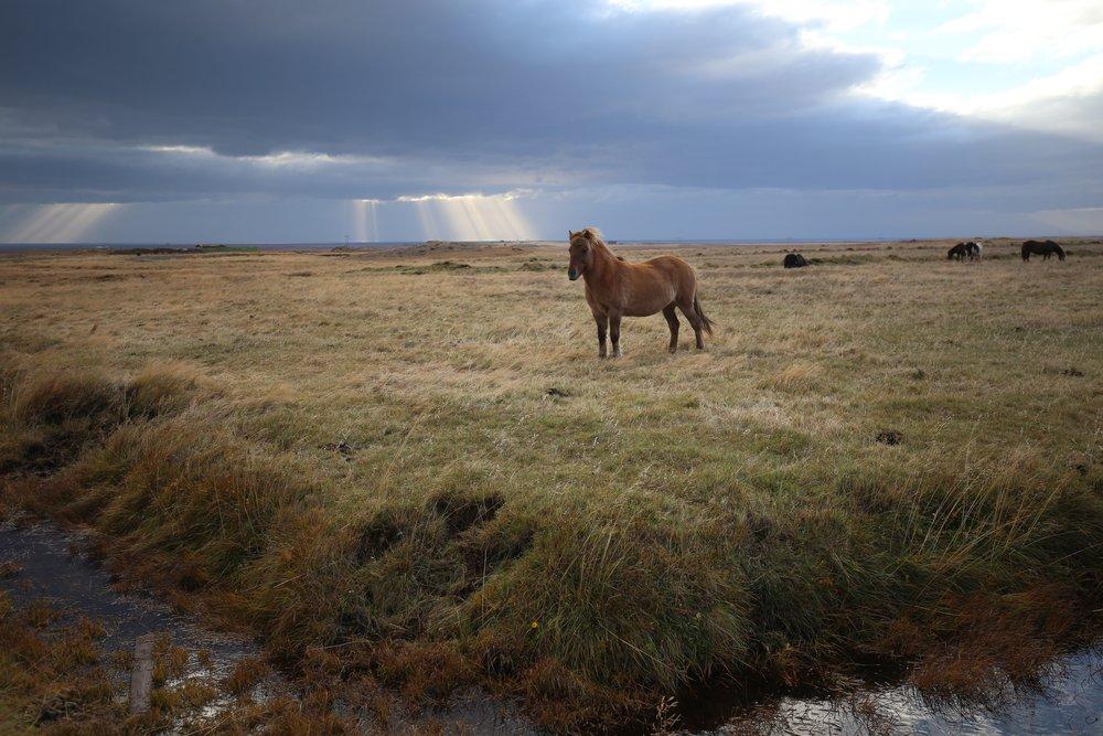 proud icelandic horse