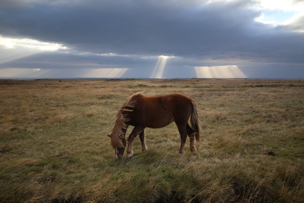 beautiful icelandic horse