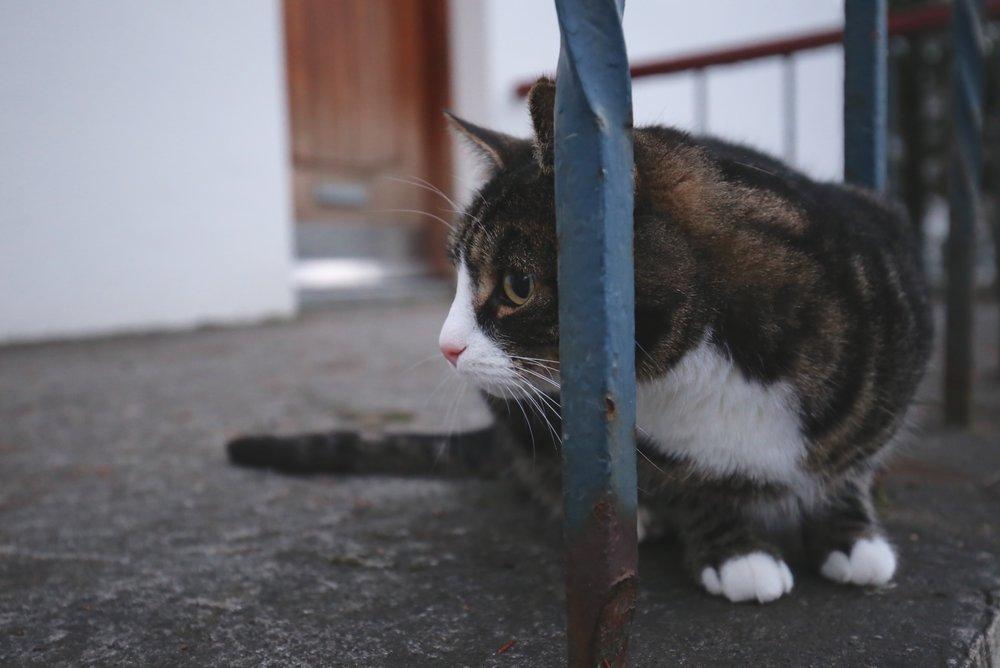 reykjavik friendly cat