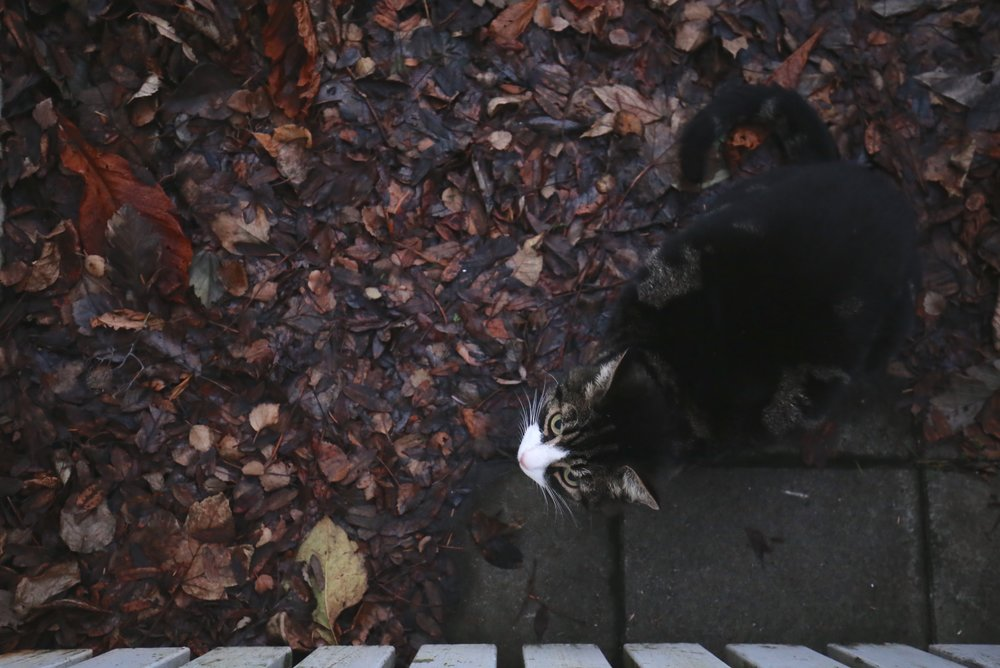 cute cat reykjavik