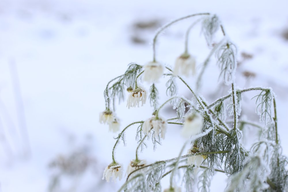daisies in the snow