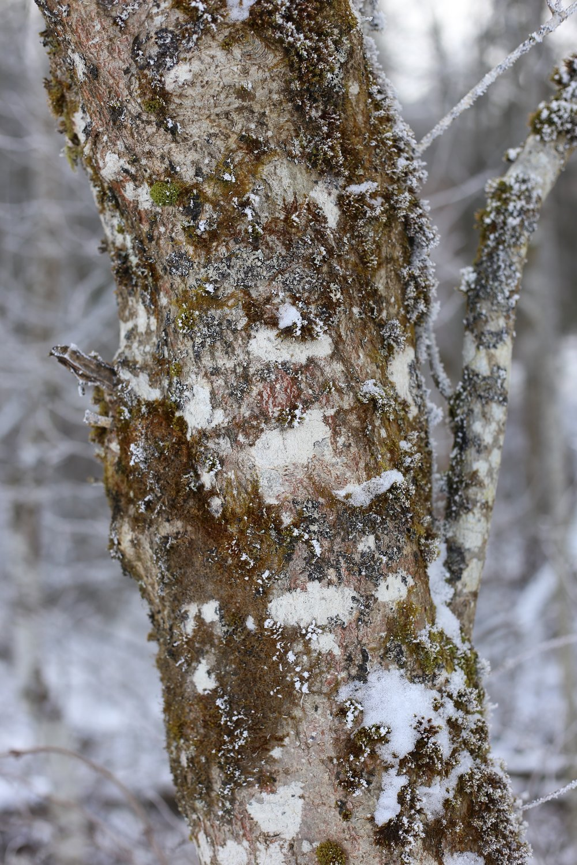 snow bark and moss