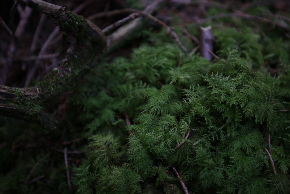 moss like ferns