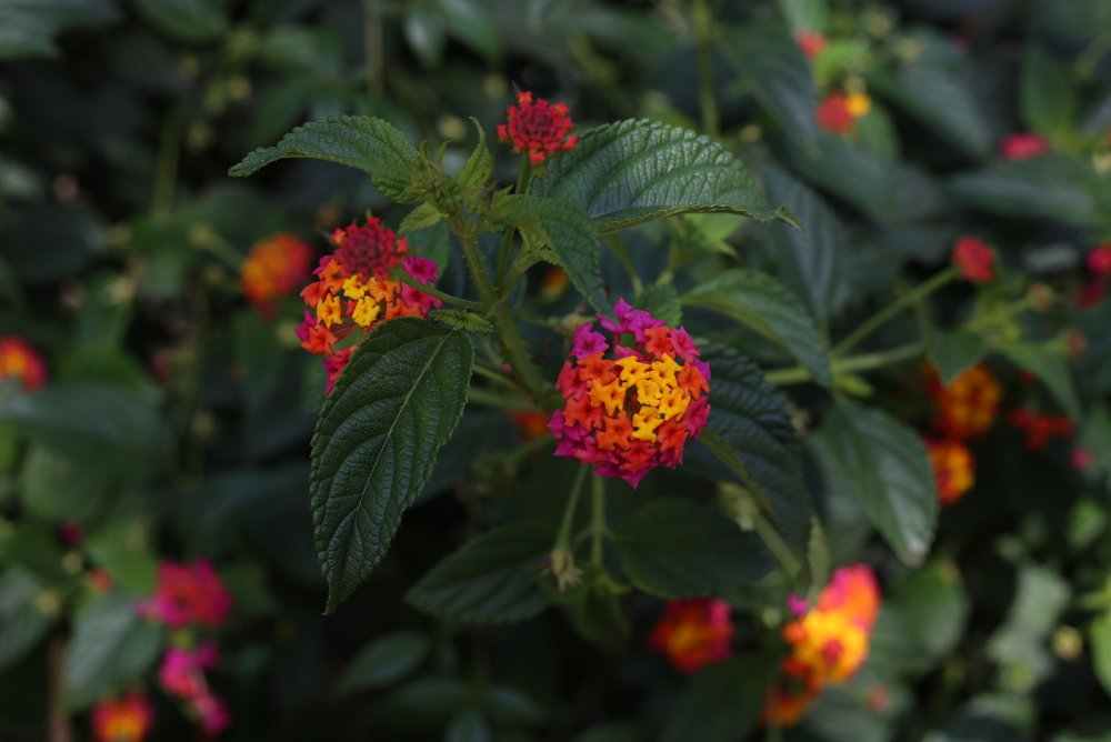 pink orange and yellow lantana flowers