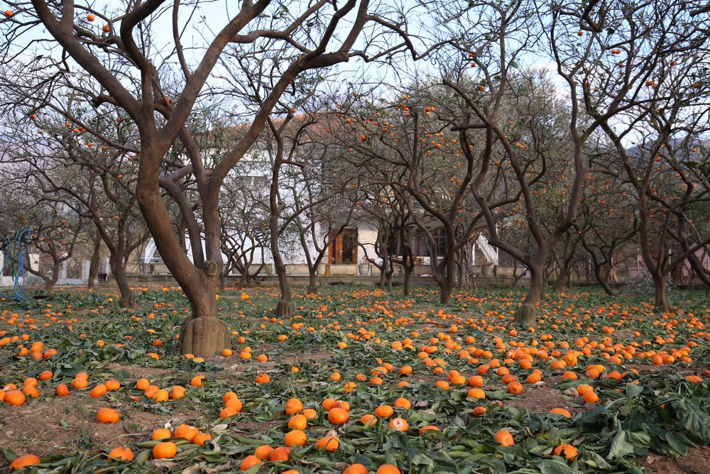 A field of bare orange trees and a carpet of ripe oranges.