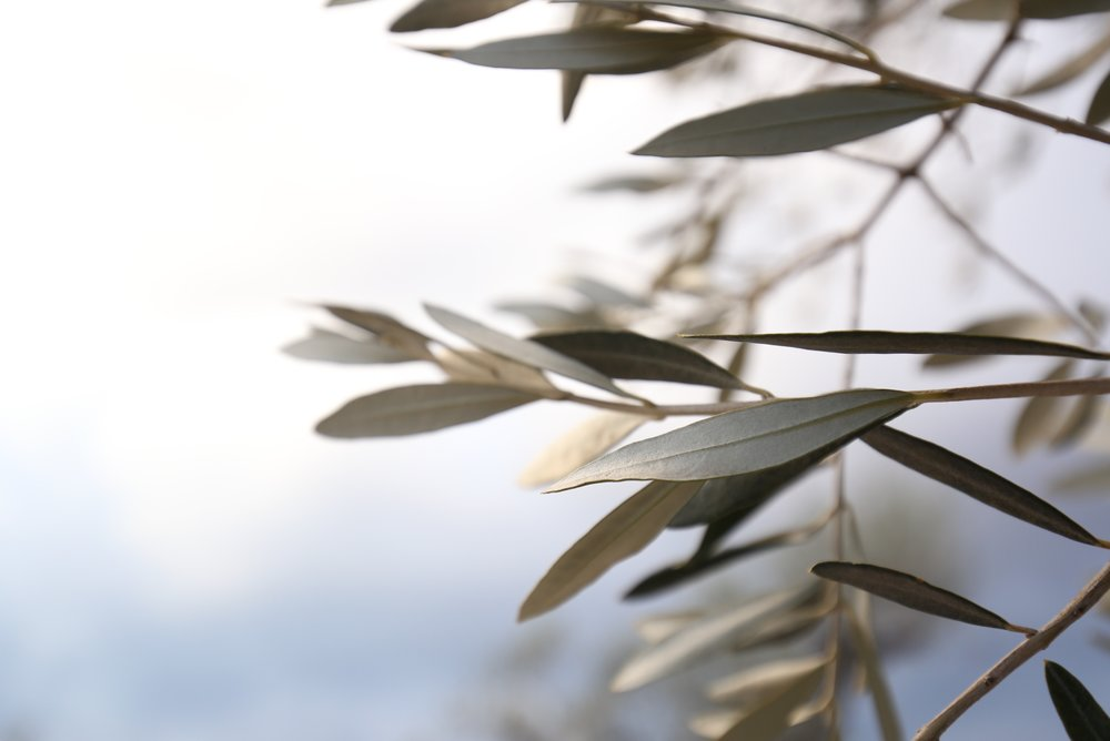 Silver leaves on an olive branch.