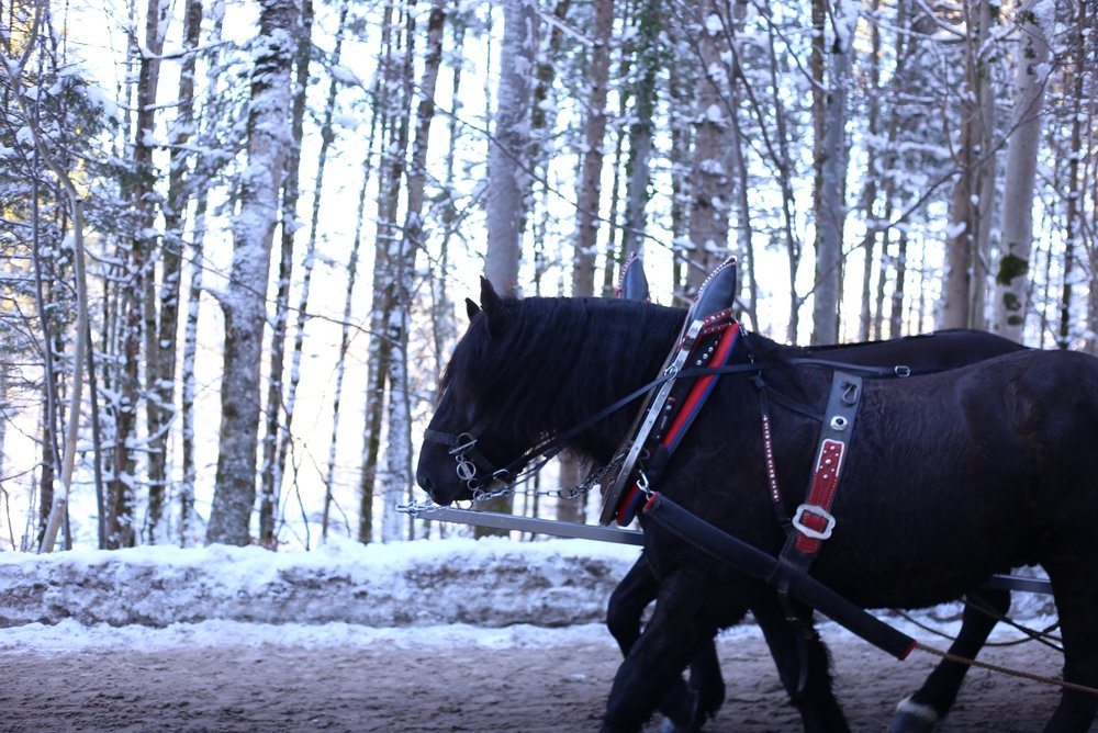 Cinderella's carriage pulled by two black steeds, in the enchanted forest.