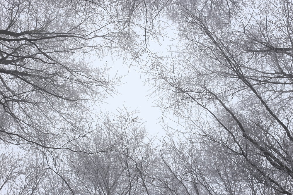 Looking up at a white sky and bare branches.