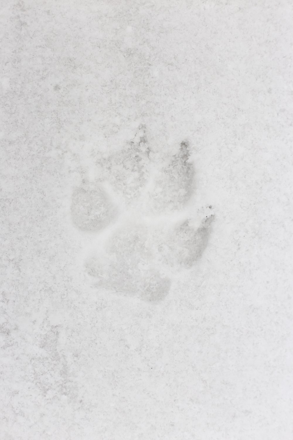 Wolf print in the snow, in a Romanian forest.