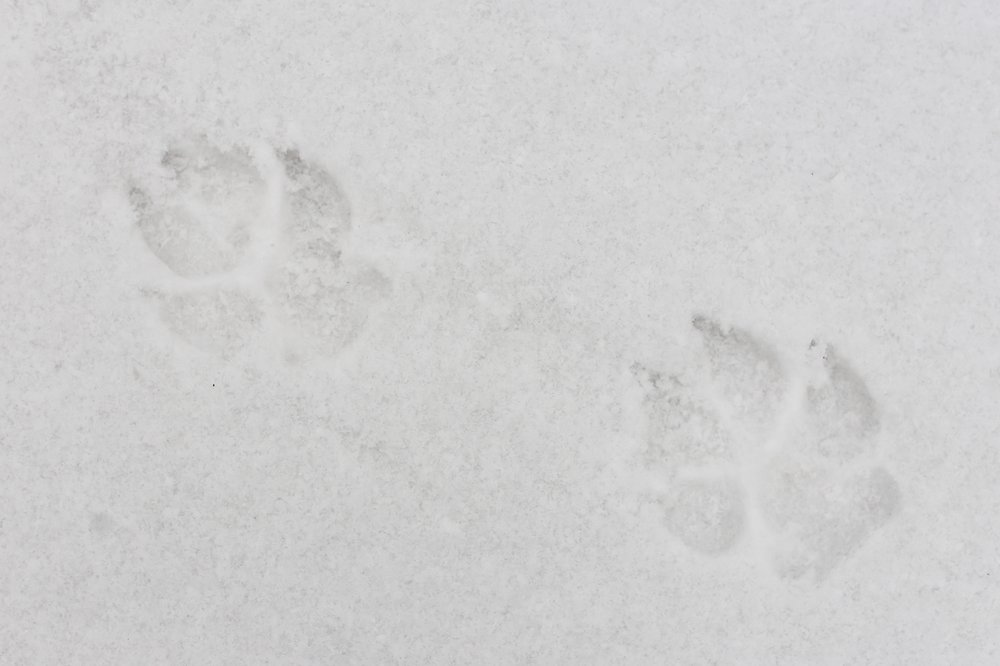 White prints of a wolf in the enchanted winter forests of Romania.