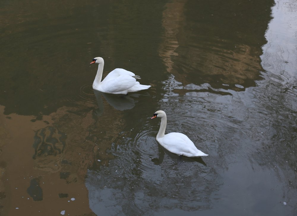 White swans in the green moat of Bojnice Castle.