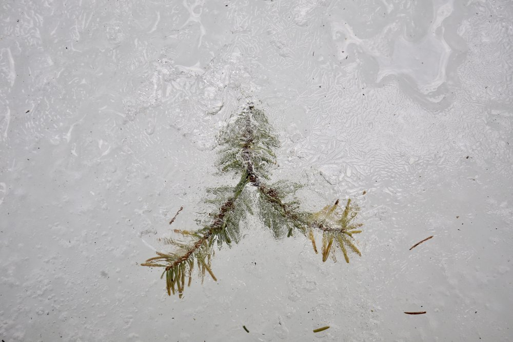 A sprig of pine needles, frozen in the layers of the river.