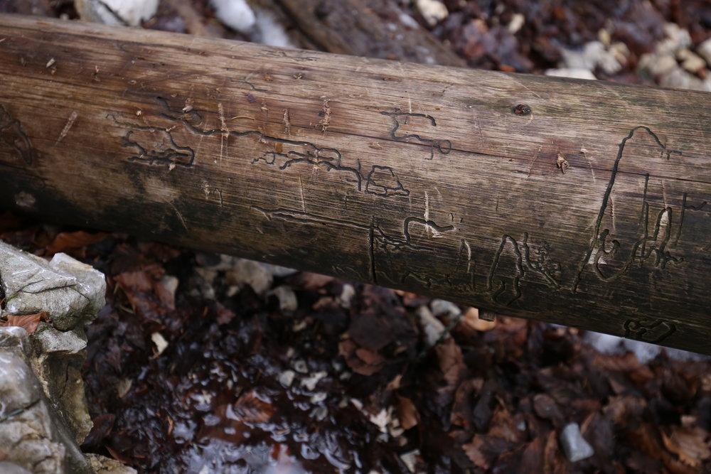 Wood that was carved by boring insects - an old tree trunk with natural pictographs.
