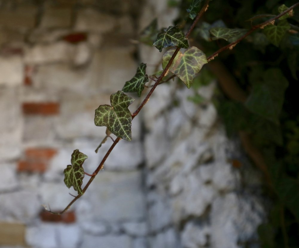 A close up of a small ivy leaf, with a stone wall in the background.