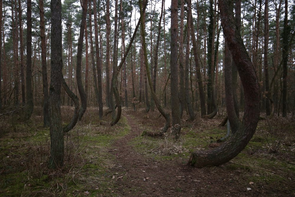 A beautiful enchanted forest in Poland, where the tree trunks are crooked and crescent.