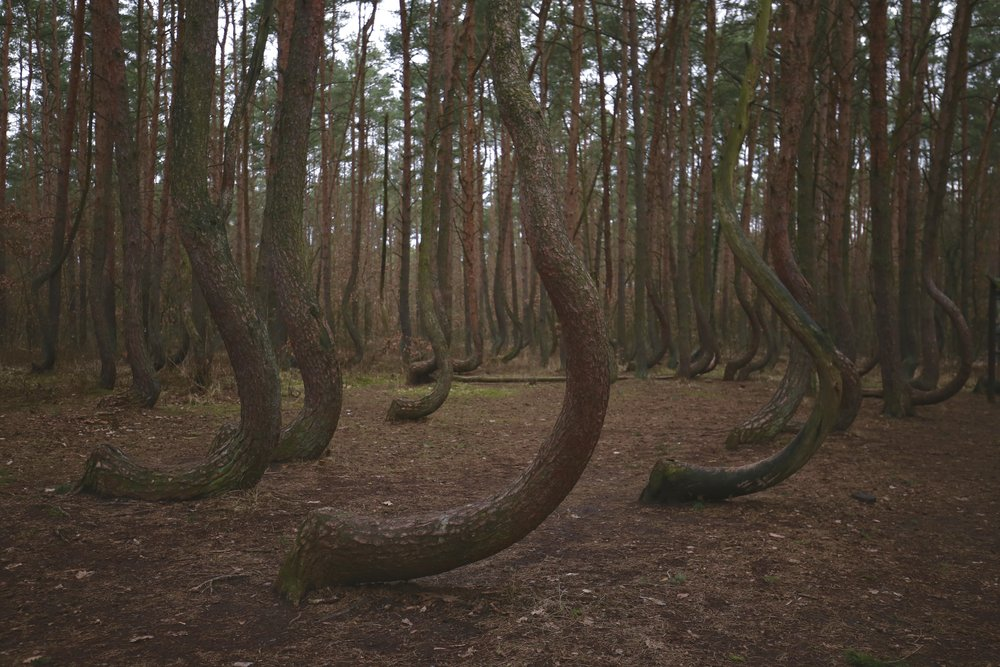 The crescent tree trunks of the Crooked Forest - with greenery on the forest floor.