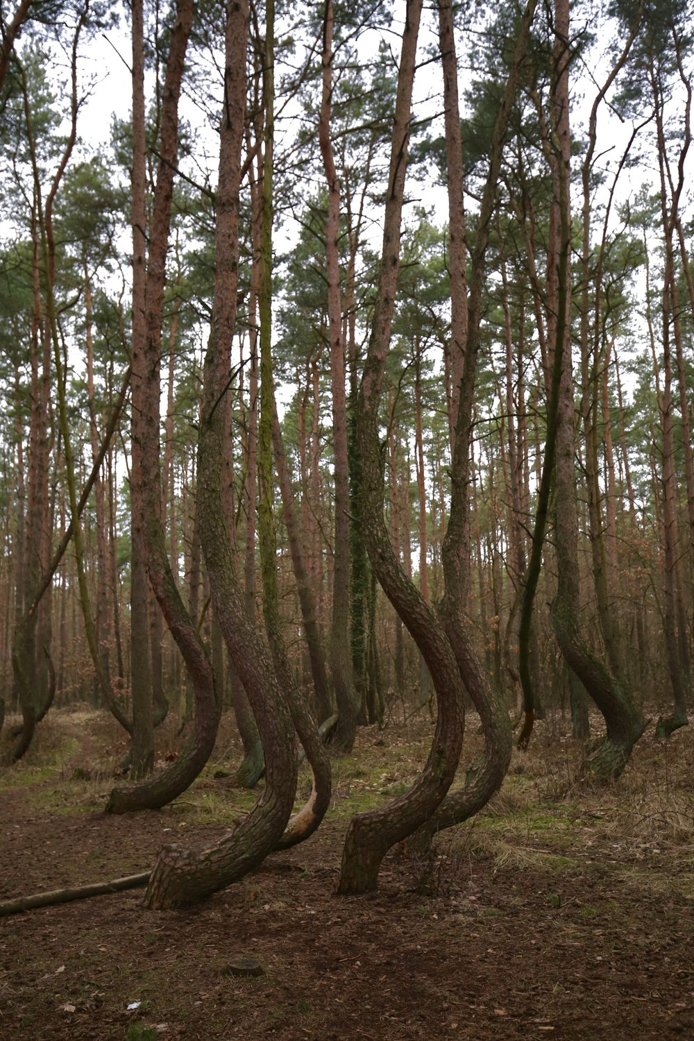 The Crooked Forest of Poland - beautiful crescent shaped trees in an enchanted pine woods.