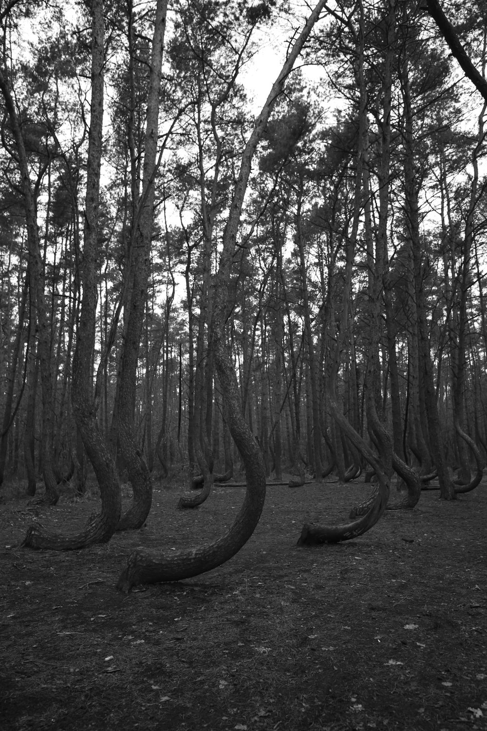 Crescent shaped pine trees in a forest of Poland.