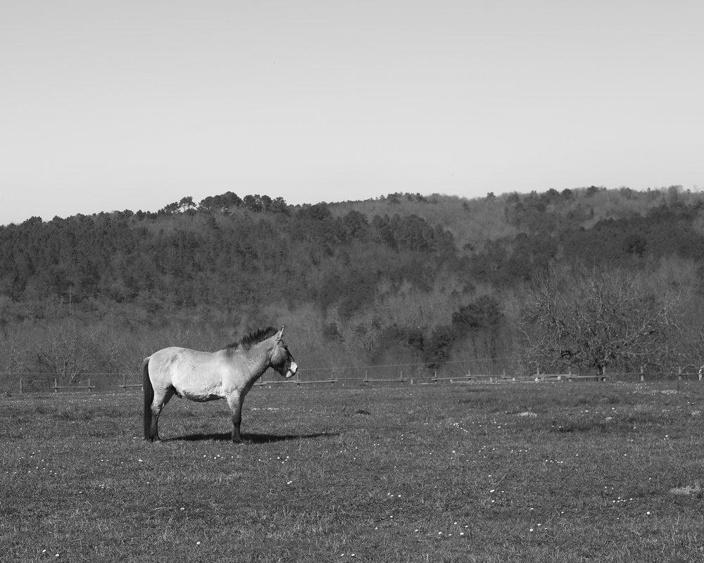 A Przewalski horse in a field.
