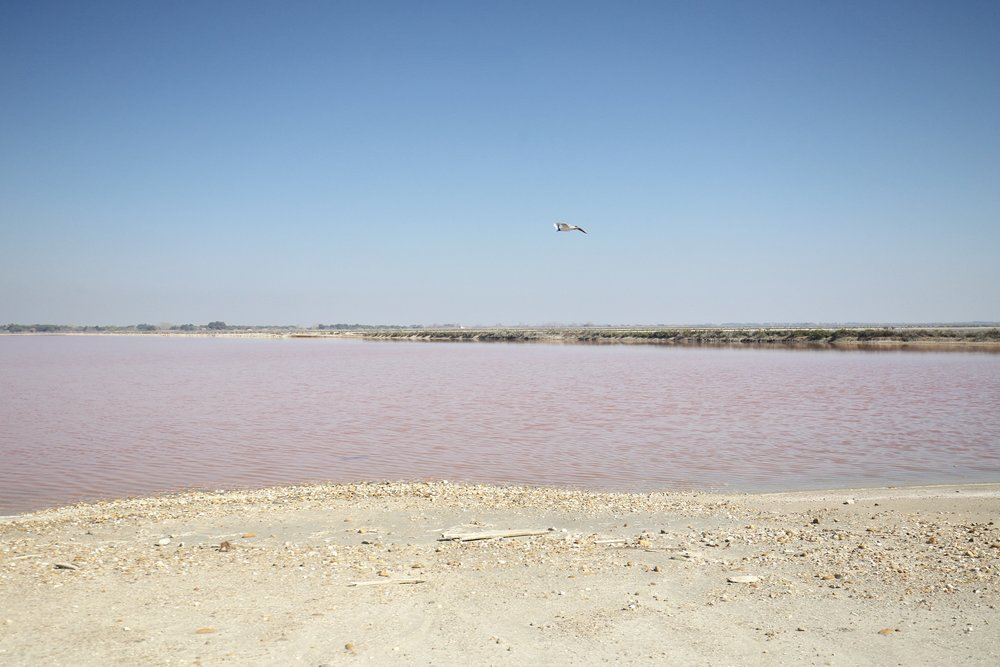 Seagull flying over pink waters at the Salins du Midi salt flats.