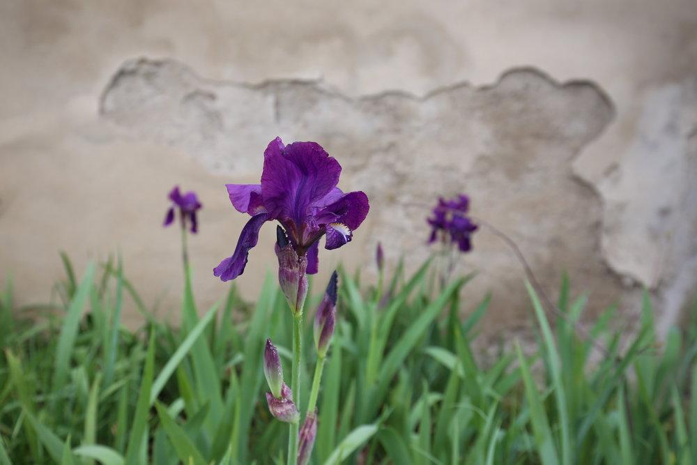 Purple irises in Saint Remy, Provence.
