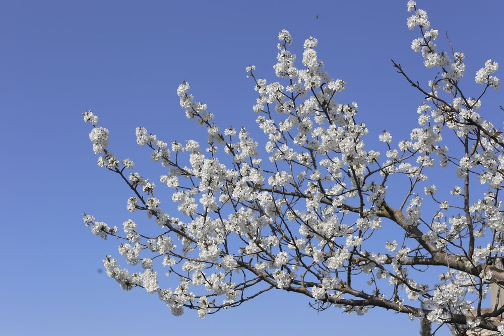 White cherry blossom like a Van Gogh painting.