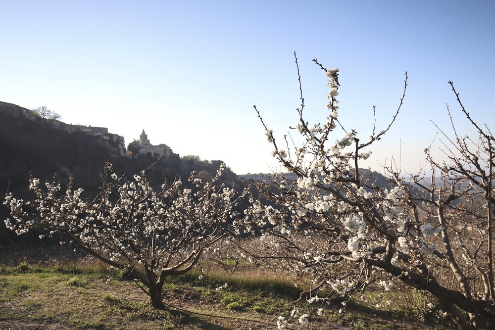 Cherry blossom in orchards of Provence underneath the hilltop town of