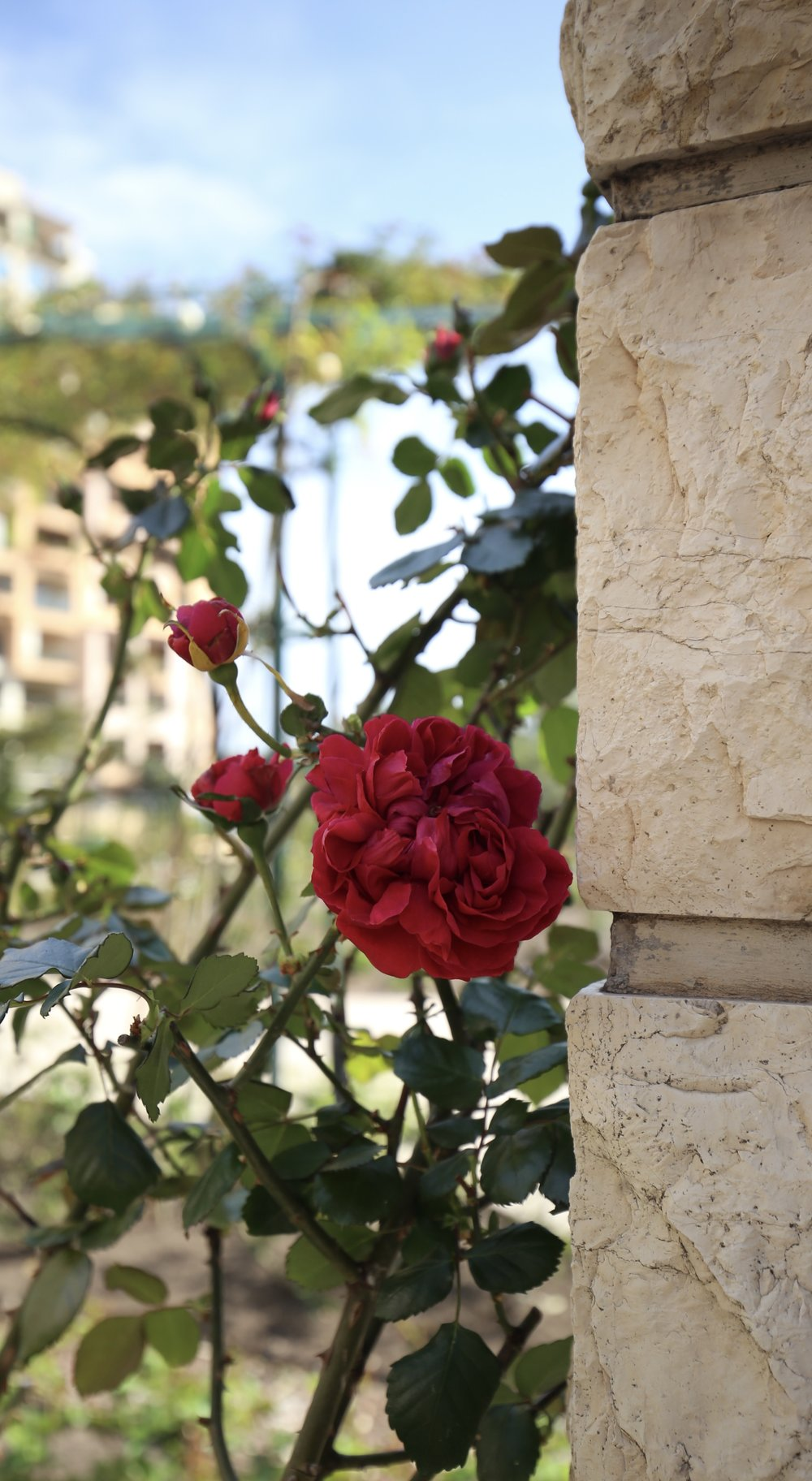 A red rose in the Princess Grace Rose Garden.